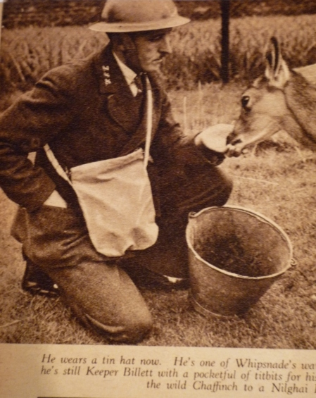 Primary history source material -  Keeper Billett of Whipsnade Zoo ZSL in tin hat and gas mask pictured in the shortlived 'Animal And Zoo magazine', November 1939 (magazine / photo from the World War Zoo archive, Newquay Zoo)