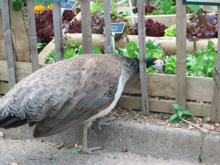 Photographic proof! Peacock (or peahen) sized garden pests peck away at our salad leaf selection, World War Zoo Gardens, Newquay Zoo.