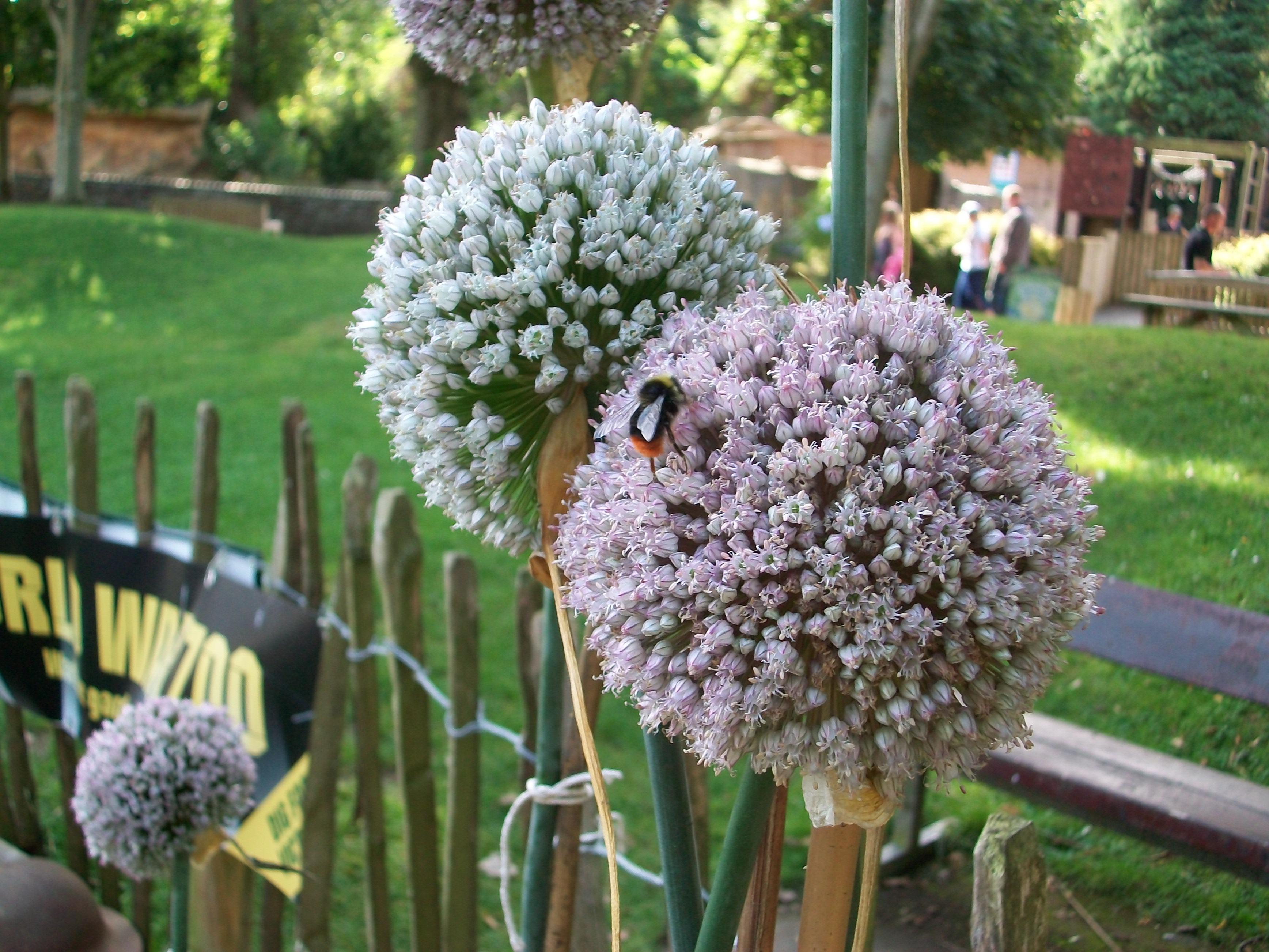 Leeks seeds and bees World War Zoo gardens 020