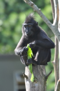 Rare 'Yaki' Sulawesi Macaque monkey at Newquay Zoo enjoying fresh broad bean pods, summer 2010. (Picture: Jackie Noble, Newquay Zoo)