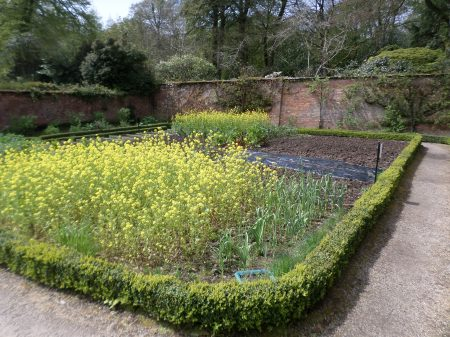 Green Manure (mustard) flowering in the Walled kitchen gardens, Trengwainton, May 2014. Image: Mark Norris, WWZG
