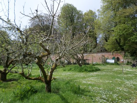 Trengwainton's orchard with walled garden backdrop, wartime garden project, May 2014. Image: Mark Norris, WWZG.