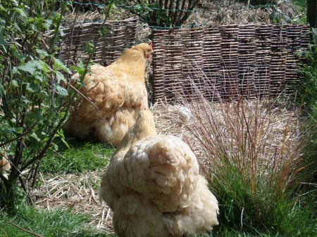 Buff Orpington chickens, Trengwainton wartime garden project, Cornwall. May 2014 Image: Mark Norris: WWZG.