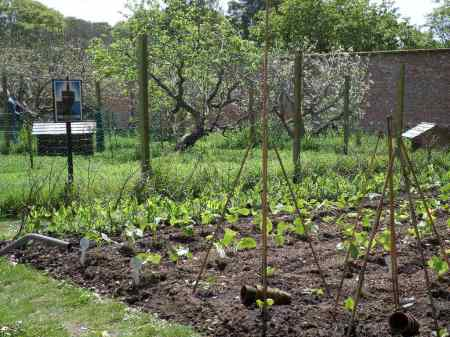 Trengwainton Garden Dig for Victory allotment May 2014. Image - WWZG.
