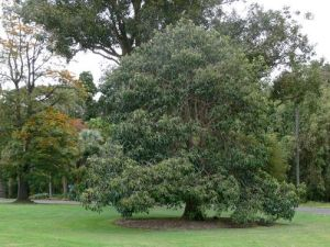 Royal Botanic Gardens Melbourne staff memorial tree  (Photo by Graham Saunders via Monuments Australia website)