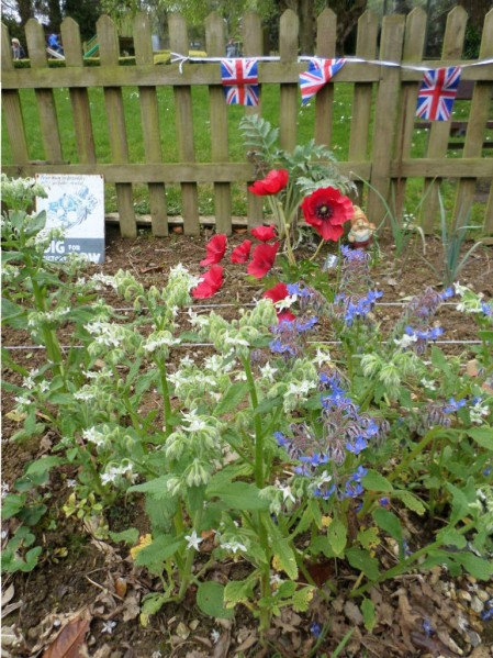 VE Day colours in our World War Zoo Gardens at Newquay Zoo  - blue and white edible borage flowers with a splash of red from some silk poppies.