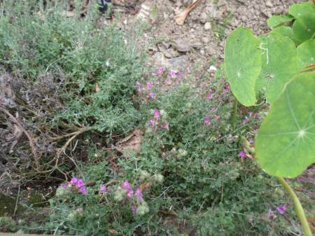 Thyme coming into flower, a good and edible bit of scent enrichment for the animals.