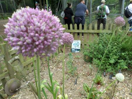 Alongside queues to see our lively trio of lions, garlic flowers bloom and attract plenty of butterflies, bees and other insects.