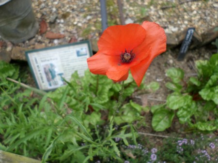 Our first memorial poppy, World War Zoo Gardens project, Newquay Zoo, July 2015