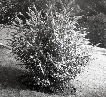Buddleia fallowiana from the RBGE plate negative archive.