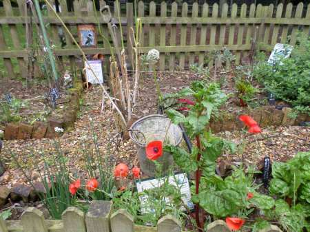 More photos of our poppies in the World War Zoo Garden, Newquay Zoo, August 2015