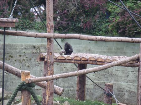 Young Sulawesi Macaque Monkey and a Globe Artichoke almost as big as him from our wartime garden allotment, Newquay Zoo, August 2015