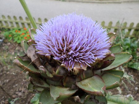 Globe Artichoke in flower silk stage, Newquay Zoo, 2015. Image: Mark Norris