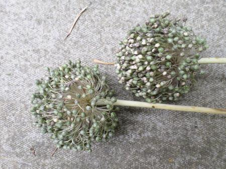 Garlic flower seed heads for picky Monkey fingers Image:  Mark Norris
