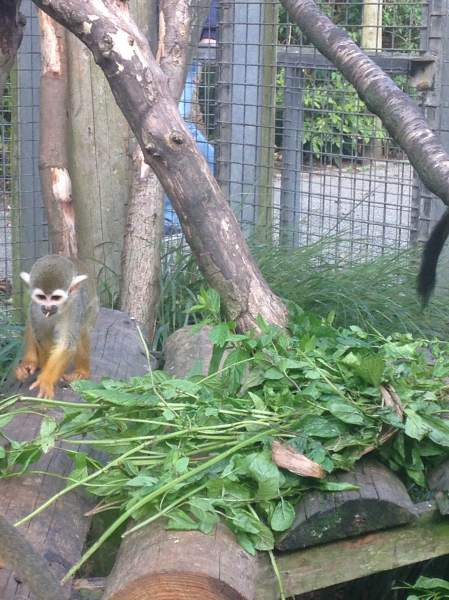 Squirrel Monkey exploring scented herb enrichment, Newquay Zoo, October 2015 (Image: Nicole Howarth, Newquay Zoo)