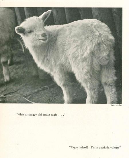 p82 lamb