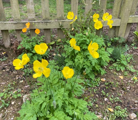 Yellow Welsh poppies pop up again in our cleared allotment, heralding lots of wildflowers and pollinators
